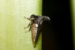 Treehoppe Strang малое на зеленых лист Стоковое Изображение