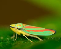 Treehopper photographie stock