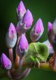 Treehopper di inermis di Cerasa del primo piano sul comptoniana di Hardenbergia Fotografia Stock