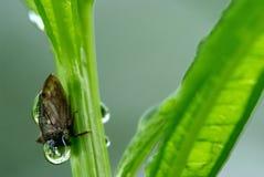 Treehopper (do Membracidae) Foto de Stock