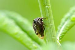 Treehopper (do Membracidae) imagens de stock royalty free