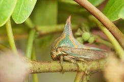 treehopper Espina-mimético Fotografía de archivo libre de regalías