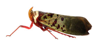Treehopper met het knippen van weg Stock Afbeeldingen