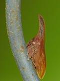 Treehopper op Omheining Wire Stock Foto