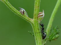 Treehoppers And A Black Ant Royalty Free Stock Photos