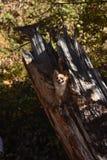Treehuahua Stockfoto