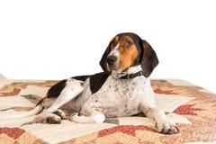 Treeing步行者说谎在毯子的猎浣熊的猎犬狗 免版税库存图片