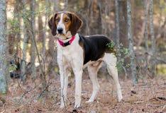 Treeing田纳西步行者猎浣熊的猎犬外形 图库摄影