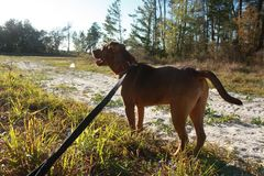 Free Treeing Cur Dog Checks The Sky While On A Leash Stock Photo - 157684980