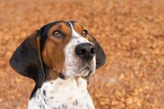 Treeing piechura Coonhound pies patrzeje naprzód Obraz Stock