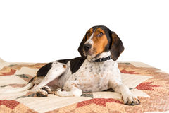 Treeing piechura Coonhound psa lying on the beach na koc Obrazy Royalty Free