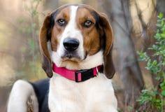 Treeing Tennessee piechura Coonhound Fotografia Royalty Free