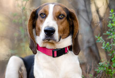 Treeing Tennessee Walker Coonhound Royaltyfri Fotografi