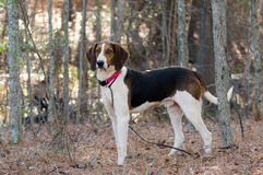 Treeing Tennessee Walker Coonhound. Coonhound Walker Hound, hunting dog, tracking dog, animal adoption photography for Walton County Animal Control shelter Stock Photo