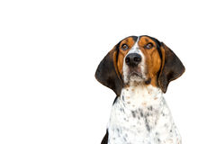 Treeing Walker Coonhound dog looking forward. Treeing Walker Coonhound hound dog looking expectantly begging waiting watching staring sitting obediently with Stock Photography
