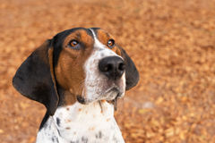 Treeing Walker Coonhound dog looking forward. Treeing Walker Coonhound hound dog outside looking expectantly begging waiting watching staring listening sitting Stock Image