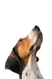 Treeing Walker Coonhound dog looking up. Treeing Walker Coonhound hound dog looking up expectantly begging waiting watching staring sitting obediently isolated Royalty Free Stock Photos