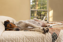Treeing Walker Coonhound sul letto Fotografie Stock