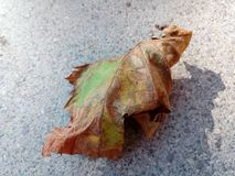 Treeleaf da uva Foto de Stock