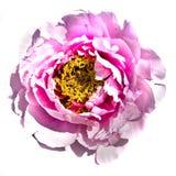 Treelike peony, pink Royalty Free Stock Photography