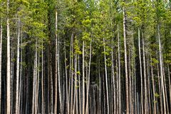 Treeline in Aspen Colorado. Row of trees in the Rocky Mountains near Aspen Colorado stock photos
