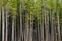 Treeline i asp- Colorado Arkivfoton