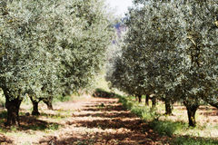 Treeline of olives Stock Images