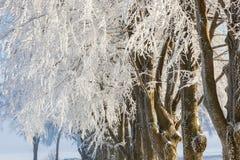 Treelined Beech trees Stock Photography