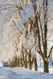 Treelined Beech trees Royalty Free Stock Image