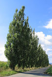 Treelinje av poplartrees med skuggor Royaltyfria Foton