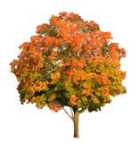 Treemaplefall Photographie stock
