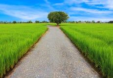 Treen är centralen av ricefältet Royaltyfria Foton