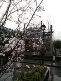 treen för fjädern för pinken för persikan för blomningblommor var den fulla royaltyfria foton