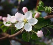 Treen förgrena sig i blom Royaltyfri Foto