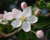 Treen förgrena sig i blom Royaltyfria Bilder