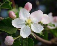 Treen förgrena sig i blom Fotografering för Bildbyråer