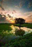Treen i en mitt av rice sätter in Arkivbild