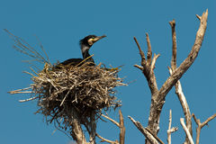 Treen med cormoranten bygga bo Arkivfoto