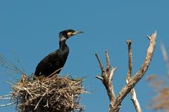 Treen med cormoranten bygga bo Arkivfoton