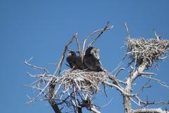 Treen med cormoranten bygga bo Royaltyfri Foto
