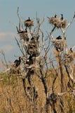 Treen med Cormorants bygga bo Arkivbilder