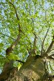Treen ser upp skyen Royaltyfri Foto