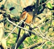 Treepie Rufous photographie stock