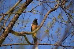 Treepie Rufous Fotos de Stock Royalty Free
