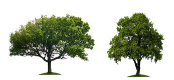 Trees. Green Trees isolated on white background Stock Photography