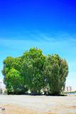 Trees. Eucalyptus trees on blue sky background in Cyprus Stock Images