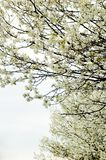 Trees. Blooming Stock Photos