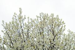 Trees. Blooming Stock Images