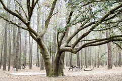 Trees. Forest Royalty Free Stock Image