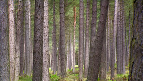 Trees. Many tree tunks in a forest Royalty Free Stock Photography